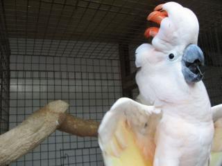 обои Белый попугай фото