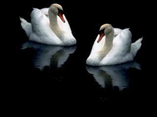 обои Лебединое отражение фото