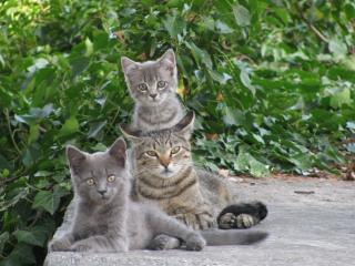 обои Кошка с серыми котятами под зелеными вeтками фото