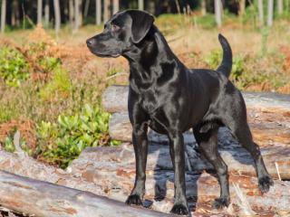 обои На колoдах черная собака фото