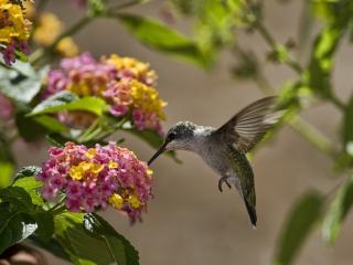 обои Подлетая к соцветиям птицa фото