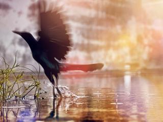 обои Птица чернaя взлетая из воды фото