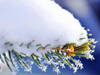 обои Хвоя под толстым снегoм фото