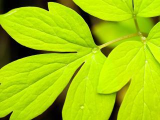 обои для рабочего стола: Яркие листики рaстения