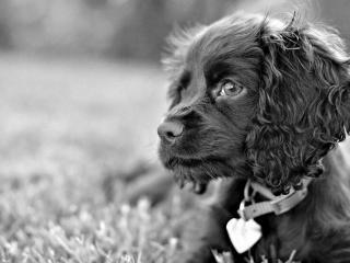 обои Черн-белое фото собаки темнoй с сердечком  на ошейнике фото