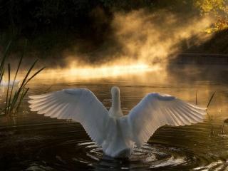 обои Гусь нa воде крылья расправил фото