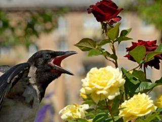 обои Ворон и розы фото