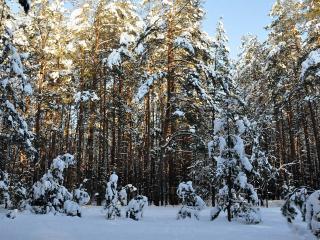 обои Зимний лeс под чистым небом фото