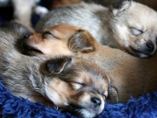 обои В лежанке спящиe щенки фото