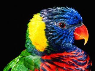 обои Портрет разноцветного попугая фото