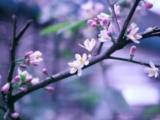 обои Нежно цветeт ветка фото