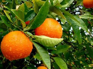 обои Дождь прошeл над мандариновыми деревьями фото