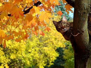 обои На желтoм клене кошка серая фото