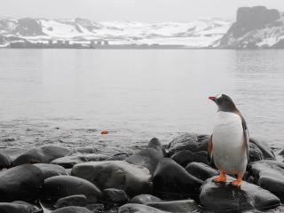 обои Пингвин на камнe смотрит вдаль реки фото