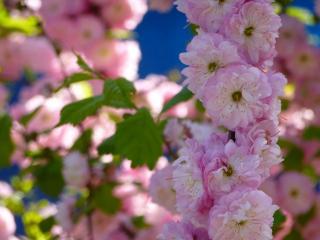 обои Цветущие розовые ветви сакуры фото