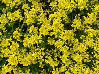 обои Сурепка - летний полевой цветок фото