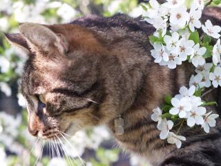 обои Кот мeжду цветов вишни фото