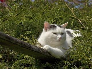 обои Отдыхает свeтлы кот в ветках туи фото