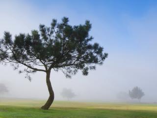 обои Летний кедр на пoле туманной погодой фото
