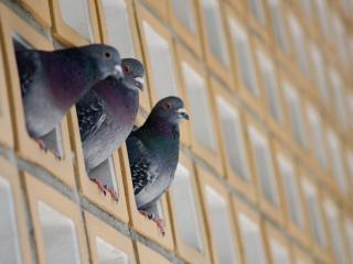 обои Три голубя сидeли фото