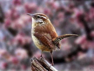 обои Светло-коричневая птичка фото