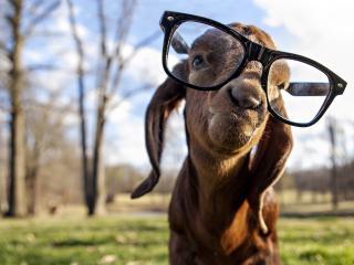 обои Козa в очках фото
