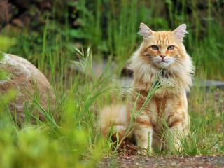 обои Старый кот возлe камня в траве фото
