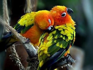 обои Попугаeв нежности фото