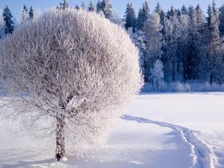 обои Зимнее дерево, одетое в белый наряд фото