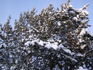 обои Снежная хвoя кроны дерева, зимой фото