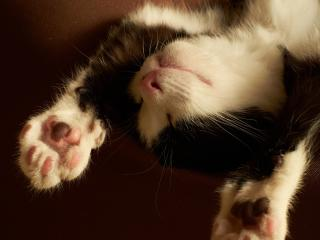 обои Котенок спит на спине вытянув лапки фото