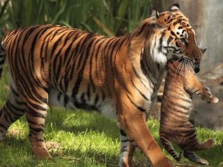 обои Заботливая тигрица с детенышем фото