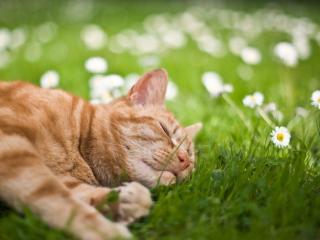 обои Рыжий кот спит на ромашковом поле фото