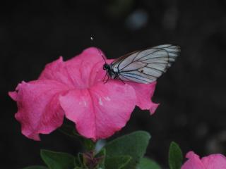 обои Белая бабочка на розовом цветке фото