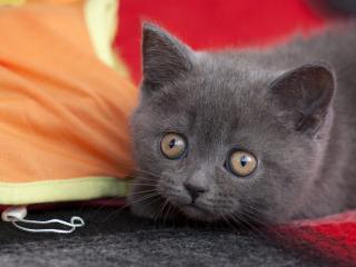 обои Крадeтся серый котeнок фото