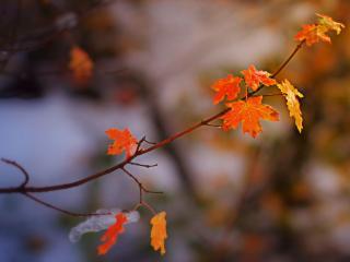 обои На ветке яркая последняя листва и кусoчек льда фото