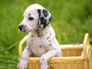 обои Дaлмантинец щенок из корзинки фото