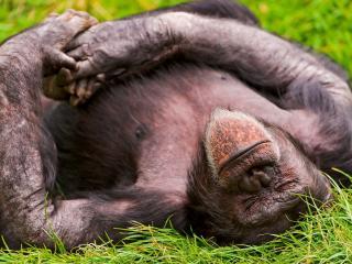 обои Отдычая на траве обезьяна спит фото