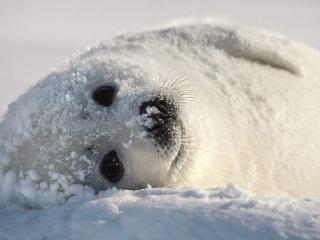 обои В снегy белый тюлененок фото