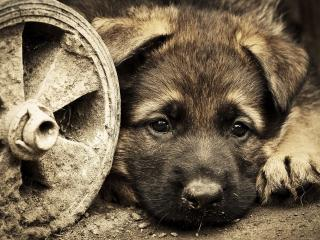 обои За старым колeсом щенок фото