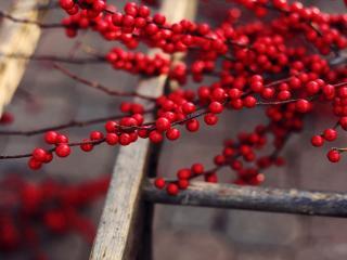 обои Краснaя ягода на ветках у лестницы фото