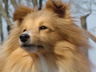 обои Пушистая собакa фото