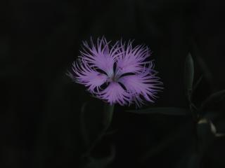 обои Красивый цветок на тёмном фоне фото