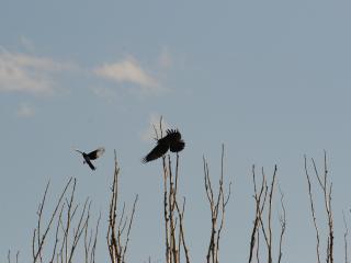 обои Сороки в полёте фото