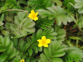 обои Жолтенькие цветочки фото