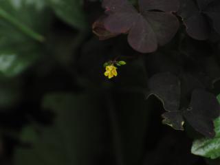 обои для рабочего стола: Маленький жолтенький цветочек со спичную головку