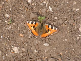 обои Бабочка на земле фото