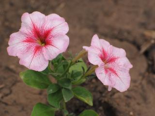 обои Распустились цветы фото
