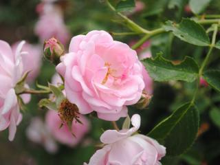 обои для рабочего стола: Кустарниковые розы