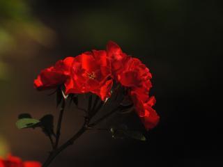 обои Красная роза на чёрном фоне фото